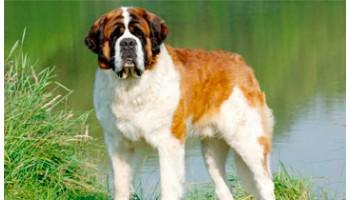 Размер собаки GIANT